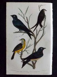 Alexander Wilson 1877 Bird Print. Chimney Swallow, Purple Martin
